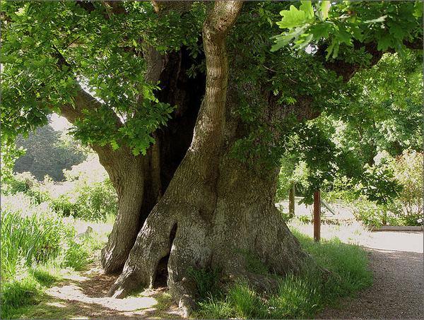 Дуб дерево картинки