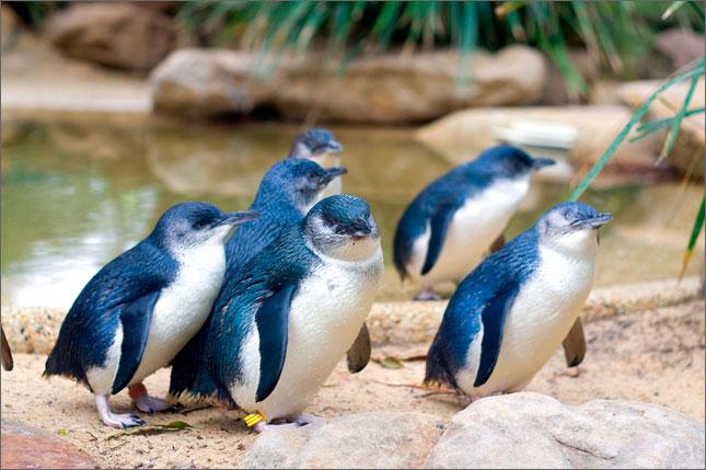 австралийские пингвины