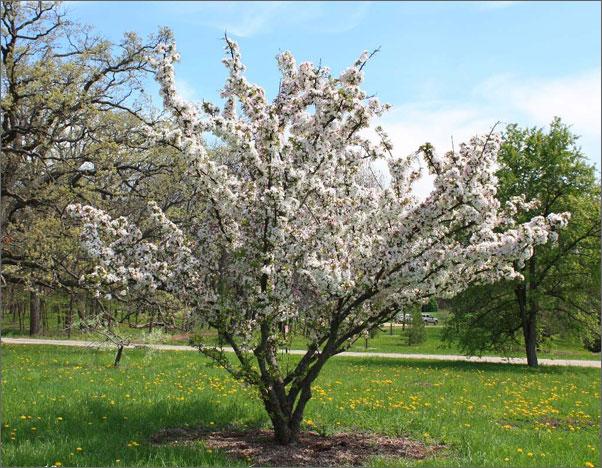 Фото цветущего дерева китайской яблони
