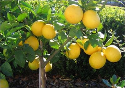 Дерево лимон - фото