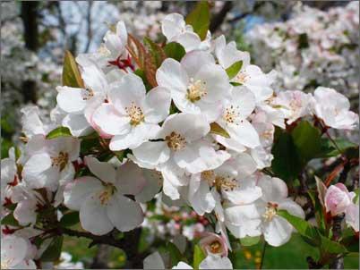 Фото китайской яблони в цвету