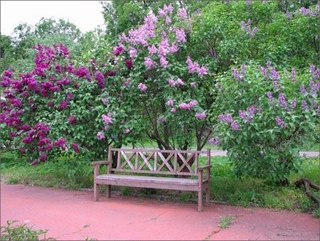 Фото дерева сирени