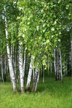 Фото береза, листва