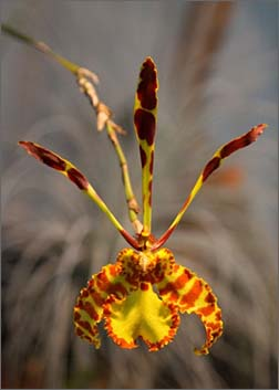 фото орхидея-бабочка