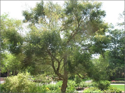 Чайное дерево - фото