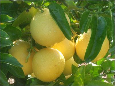 Свойства эфирного масла грейпфрута для тела