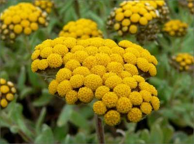 Растение бессмертник - фото