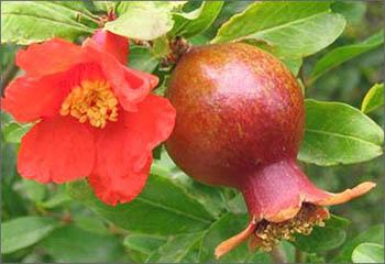 Фото цветение грната