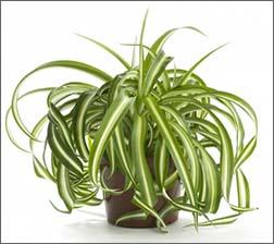 растение хлорофитум фото