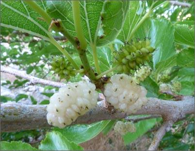 БЕЛАЯ ШЕЛКОВИЦА. Полезные и лечебные свойства белого тутовника